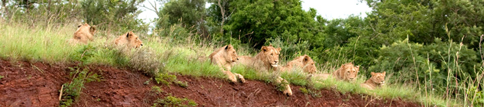 Pride of Lion,Game Drives,Amakhosi Safari Lodge,Amakhosi Private Game Reserve,KwaZulu-Natal,Hluhluwe iMfolozi Reservations