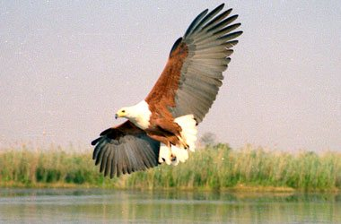 African Fish Eagle,Accommodation Bookings,Big Five Game Reserve,Hluhluwe,Zululand,KwaZulu-Natal
