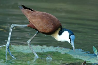 African Jacana,Accommodation Bookings,Big Five Game Reserve,Hluhluwe,Zululand,KwaZulu-Natal
