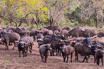 Manyoni Private Game Reserve Buffalo Herd Zululand Rhino Reserve Big 5 KwaZulu-Natal South Africa