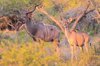 Kudu  Manyoni Private Game ReserveZululand Rhino Reserve Big 5 KwaZulu-Natal South Africa